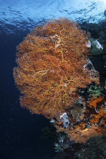 A Colorful Gorgonian Grows on a Reef Dropoff in Raja Ampat-Stocktrek Images-Photographic Print