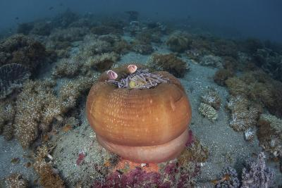 A Colorful Magnificent Sea Nemone Hosts Pink Anemonefish-Stocktrek Images-Photographic Print