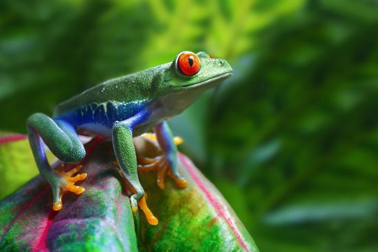 A Colorful Red-Eyed Tree Frog in its Tropical Setting.-Brandon Alms-Photographic Print