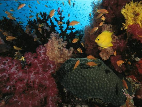 A Colorful Reef Scene with Soft and Hard Corals, and Schools of Fish-Tim Laman-Photographic Print