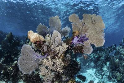 A Colorful Set of Gorgonians on a Diverse Reef in the Caribbean Sea-Stocktrek Images-Photographic Print