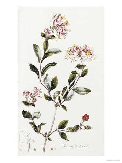 A Colour Plate from Curtis' Flora Londinesis-William Curtis-Giclee Print