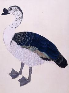 A Comb Duck, C.1800
