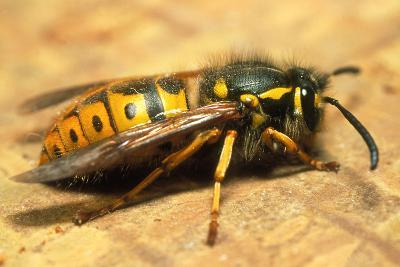 A Common Adult Worker Wasp, Vespula Vulgaris-Sinclair Stammers-Photographic Print