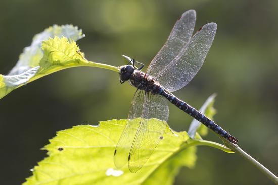A Common Hawker Dragonfly at Rest on a Leaf Stem at Bartlett Cove-Matthias Breiter-Photographic Print