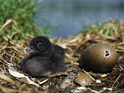 A Common Loon Chick Sits in its Waterside Nest--Photographic Print