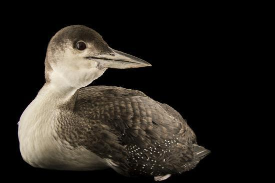 A Common Loon, Gavia Immer, at International Bird Rescue-Joel Sartore-Photographic Print