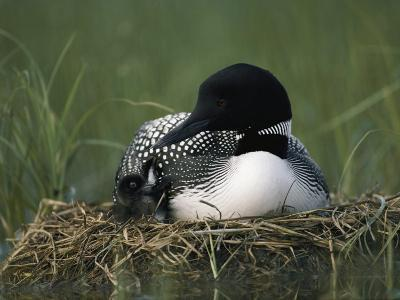A Common Loon Sits with a Chick on Her Marshy Nest-Michael S^ Quinton-Photographic Print