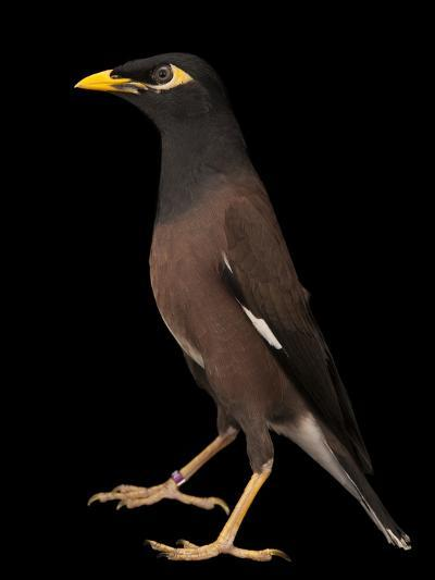 A Common Myna or Indian Myna, Acridotheres Tristis-Joel Sartore-Photographic Print