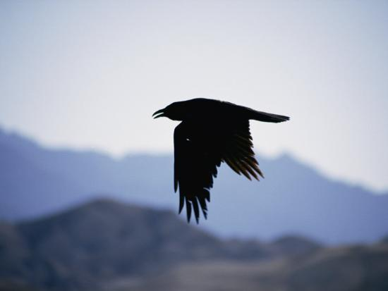 A Common Raven is Silhouetted against the Sky-Marc Moritsch-Photographic Print