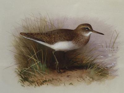 A Common Sandpiper-Archibald Thorburn-Giclee Print