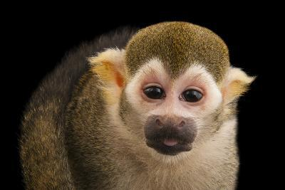 A Common Squirrel Monkey, Saimiri Sciureus, at the Lincoln Children's Zoo-Joel Sartore-Photographic Print