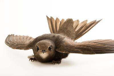 A Common Swift, Apus Apus, from the Budapest Zoo.-Joel Sartore-Photographic Print