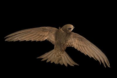 A Common Swift, Apus Apus, from the Budapest Zoo-Joel Sartore-Photographic Print