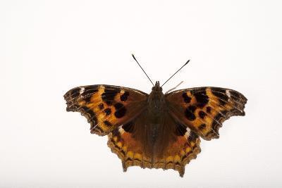 A Compton Tortoiseshell Butterfly, Nymphalis Vaualbum, from Cross Lake, Minnesota-Joel Sartore-Photographic Print