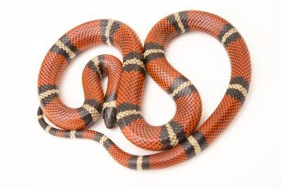 A Conant's Milk Snake, Lampropeltis Triangulum Conanti, at Pet Paradise-Joel Sartore-Photographic Print