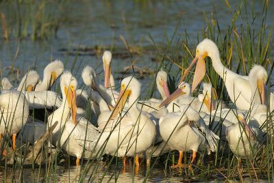 A Congregation of White Pelicans, Viera Wetlands, Florida-Maresa Pryor-Photographic Print