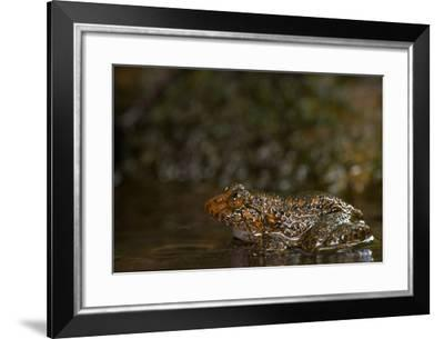 A Coorg Night Frog, Nyctibatrachus Sanctipalustris, Sits in a Stream-Prasenjeet Yadav-Framed Photographic Print