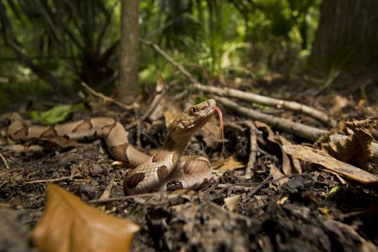 A Copperhead Snake Laying in Leaf Matter on the Forest Floor, Smelling with its Tongue-Karine Aigner-Photographic Print