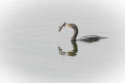 A Cormorant Catching a Large Fish in Beak-Sheila Haddad-Photographic Print