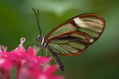 https://imgc.artprintimages.com/img/print/a-costa-rica-glass-wing-butterfly-greta-oto_u-l-pncefa0.jpg?p=0