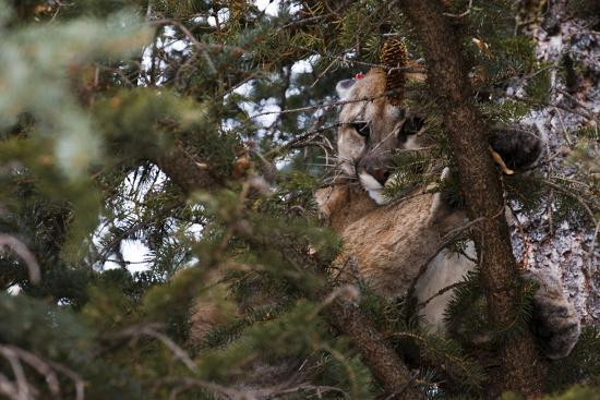 A Cougar, Treed by Hounds, to Be Tranquilized and Fitted with a Tracking Device-Steve Winter-Photographic Print