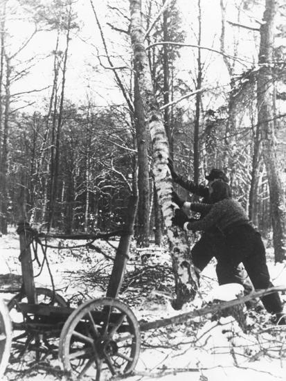 A Couple Cutting Down a Tree for Firewood, 21st February 1947-German photographer-Photographic Print