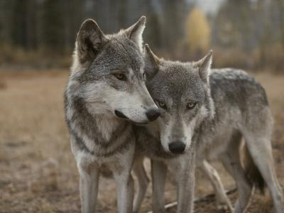 A Couple of Gray Wolves, Canis Lupus, Stand Next to One Another-Jim And Jamie Dutcher-Photographic Print
