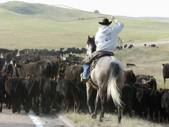A Cow Hand Drives Cattle--Photographic Print