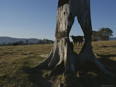 A Cow is Framed by a Tree Trunk with a Hole Burned Through It-Sam Abell-Photographic Print