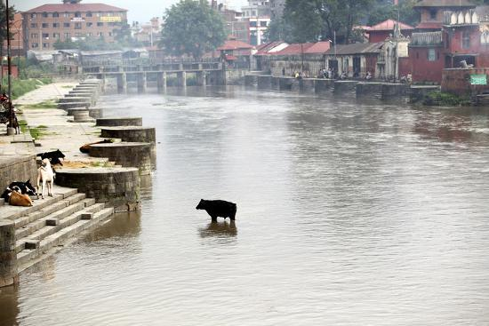 A Cow Stands in the Bagmati River Running Through Kathmandu-Jill Schneider-Photographic Print