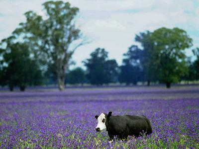 A Cow Struggles to Find Grass--Photographic Print