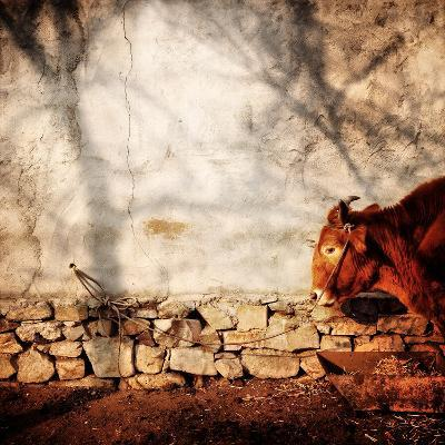 A Cow Tied Up Outside a Small Farmhouse in Rural China-Sean Gallagher-Photographic Print