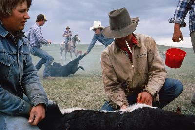 A Cowboy Castrates a Young Calf, While Behind Him Two Others Wrestle a Calf to the Ground.-Sam Abell-Photographic Print