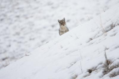 https://imgc.artprintimages.com/img/print/a-coyote-canis-latrans-looking-over-a-snowy-hill_u-l-poln200.jpg?p=0