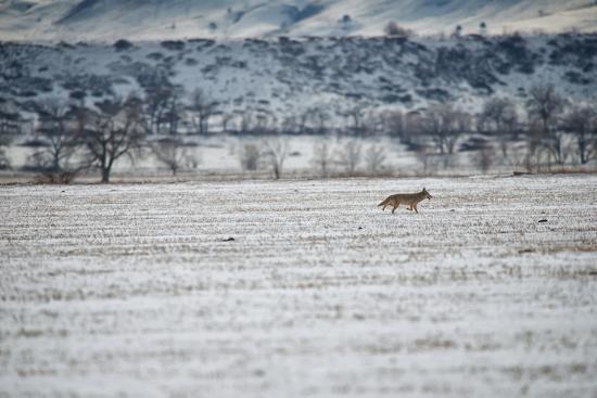 A Coyote, Canis Latrans, Near Boulder-Keith Ladzinski-Photographic Print