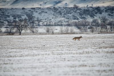 https://imgc.artprintimages.com/img/print/a-coyote-canis-latrans-near-boulder_u-l-po86ft0.jpg?p=0