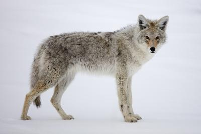 A Coyote, Canis Latrans, Pauses on Snow and Looks at the Camera-Robbie George-Photographic Print