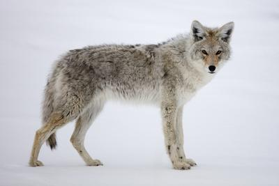https://imgc.artprintimages.com/img/print/a-coyote-canis-latrans-pauses-on-snow-and-looks-at-the-camera_u-l-q13hole0.jpg?p=0