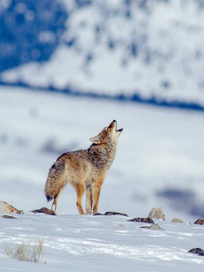 A Coyote Howls in a Winter Landscape-Tom Murphy-Photographic Print