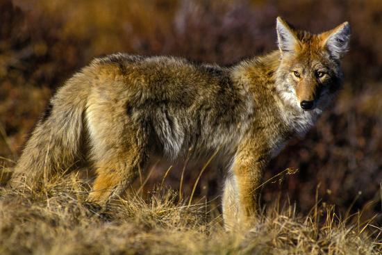 A Coyote on the Lookout for Mice and Other Prey-Tom Murphy-Photographic Print