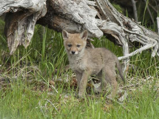 A Coyote Puppy Stands Looking at the Camera-Tom Murphy-Photographic Print