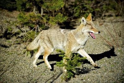 A Coyote, Searches for Prey in the Cariboo Mts of B.C., Canada-Richard Wright-Photographic Print