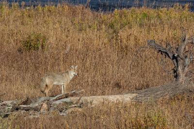 A Coyote Stands on a Fallen Tree-Tom Murphy-Photographic Print