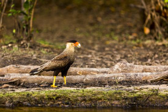 A crested caracara walks along a river bank in the Pantanal, Brazil-James White-Premium Photographic Print