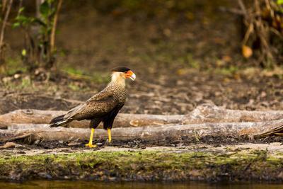 https://imgc.artprintimages.com/img/print/a-crested-caracara-walks-along-a-river-bank-in-the-pantanal-brazil_u-l-q1czhht0.jpg?p=0