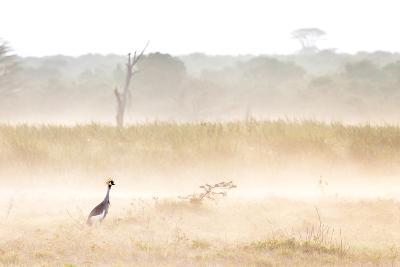 A Crested Crane Stands Out On an Ethereal Misty Morning-Robin Moore-Photographic Print