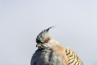 A Crested Pigeon, Ocyphaps Lophotes, Fluffs its Feathers to Stay Warm on a Cold Desert Morning-Jason Edwards-Photographic Print
