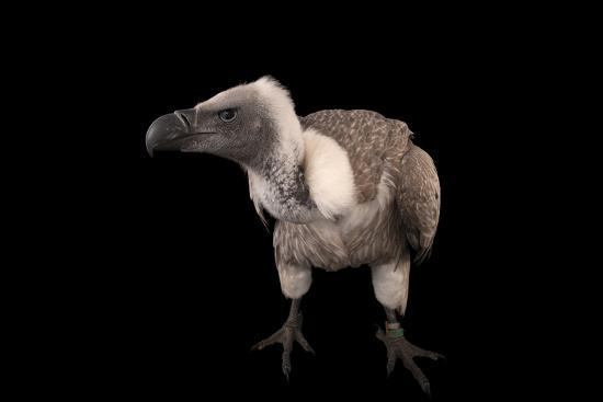 A Critically Endangered African White-Backed Vulture at the Cleveland Metroparks Zoo-Joel Sartore-Photographic Print