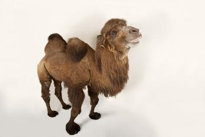 A Critically Endangered Bactrian Camel, Camelus Bactrianus, at the Lincoln Children's Zoo-Joel Sartore-Photographic Print